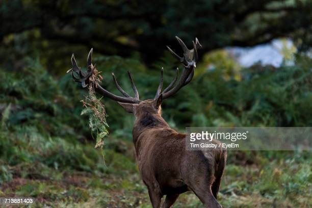 Rear View Of Stag In The Wild