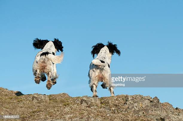Rear view of two black and white dogs in motion