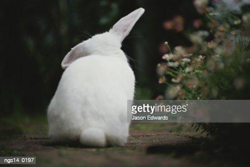 Rear view of white rabbit in garden. : Stock Photo