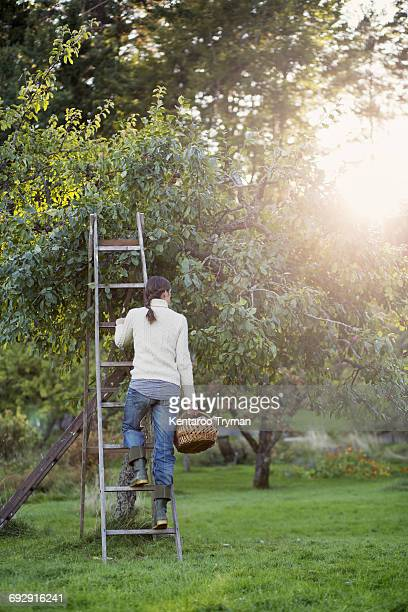 Rear view of woman standing on ladder by tree in orchard