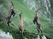 Rearing Alpine Ibexes