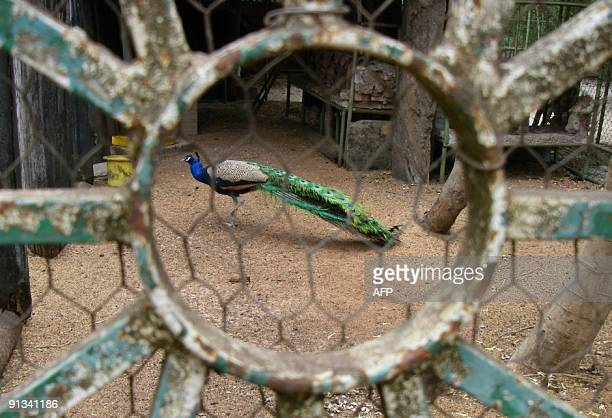 BRACONNAGES*** Recent picture taken on September 11 2009 showing a peacock in a cage which escaped from poachers in a nearby forest and then was...