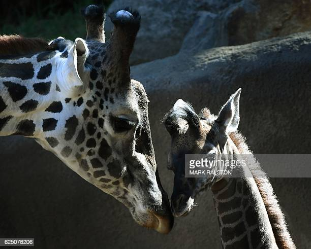 A recently born and unnamed baby female Masai giraffe calf bonds with her father named Phillip at the Los Angeles zoo in California on November 22...