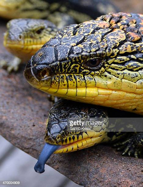 A recently born Blotched BlueTongue lizard sticks out its tongue next to its mother as they are displayed for the first time at the Wild Life Sydney...