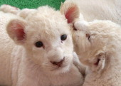 Recently born lioness cubs play during their first public viewing at Himeji Central Park on July 13 2013 in Himeji Japan The seven white lioness cubs...