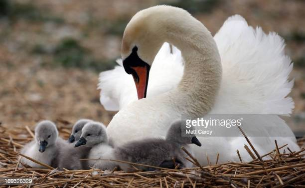Recently hatched cygnets sit with their mother in a nest at Abbotsbury Swannery on May 23 2013 near Weymouth England This year the arrival of the...