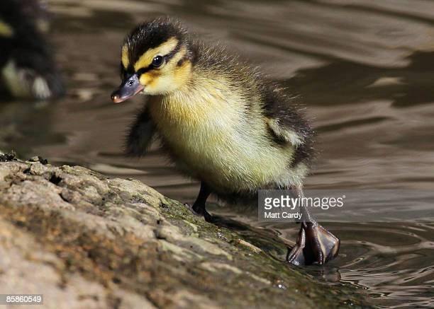 A recently hatched duckling climbs out of a pond as it enjoys the spring weather and sunshine at the Slimbridge Wetlands Wildlfire Centre on April 8...