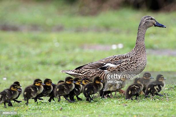 Recently hatched ducklings walk with their mother as they enjoy the spring weather and sunshine at the Slimbridge Wetlands Wildlfire Centre on April...