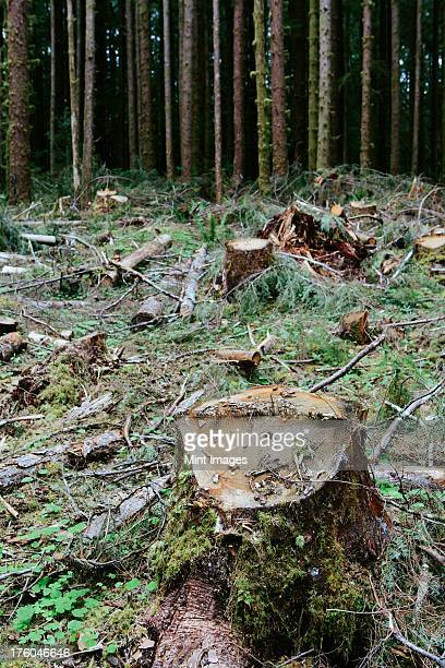 Recently logged Sitka Spruce and Western Hemlock logs, Olympic national forest, USA