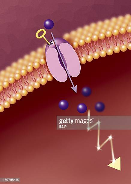 Receptor Illustration VoltageDependent Ion Channel The Fixation Of A Particular Molecule Represented By The Key On The Membranous ProteinCanal Causes...