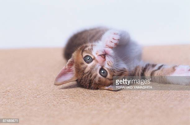 Reclining kitten on rug