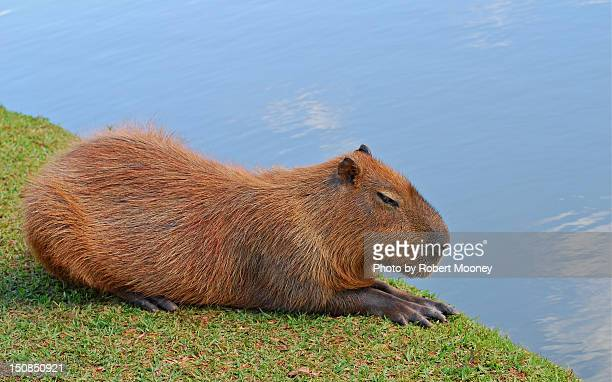 Reclining Rodent