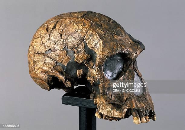 Reconstruction of a skull of Homo habilis from Kenya Pliocene epoch Firenze Museo Di Storia Naturale Dell'Universita' Degli Studi Di Firenze