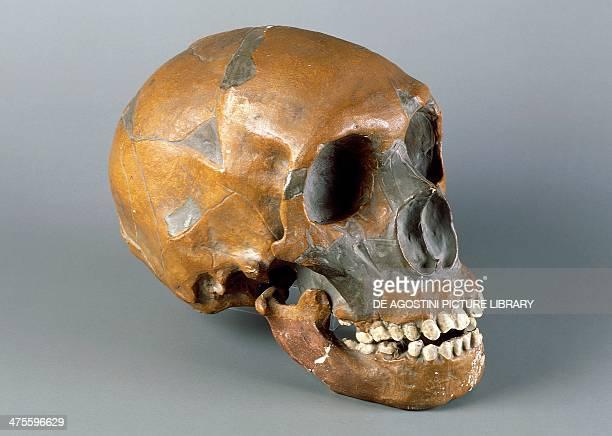 Schädel Von Menschenaffen Stock-Fotos und Bilder | Getty ... Homo Sapiens Neanderthalensis Skull