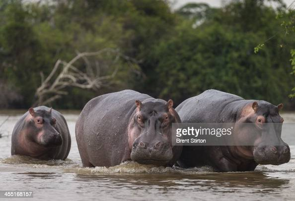 Recovering hippo populations close to the ICCN Ranger station on July 31 2013 in Lulimibi Lake Edward Lake Edward once housed the largest hippo...