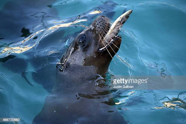 A recovering sea lion pup eats herring in an enclosure at the Marine Mammal Center on March 18 2015 in Sausalito California For the third winter in a...