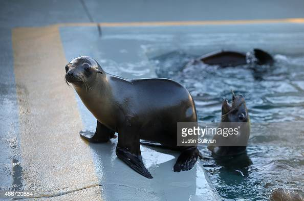 Recovering sea lion pups sit in an enclosure at the Marine Mammal Center on March 18 2015 in Sausalito California For the third winter in a row...