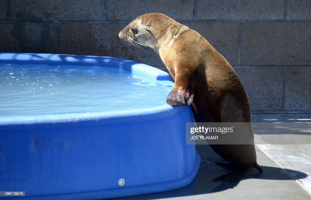 A recovering young sea lion heads towards a pool of water at the Marine Mammal Care Center at Fort MacArthur on April 9, 2013 in San Pedro, California. Sickly emaciated sea lion pups have been turning up on California's coastline in unusually high numbers since January - with live strandings nearly three times higher than the historical average.
