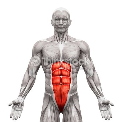 Rectus Abdominis Abdominal Muscles Anatomy Muscles Isolated Stock ...
