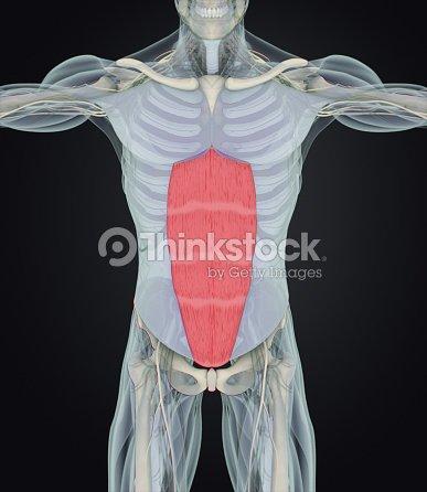 Abdominus Del Músculo Recto Los Músculos Del Estómago Anatomía ...
