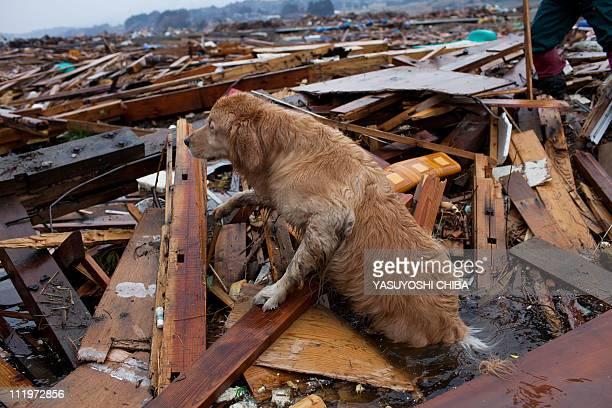 A recue dog searches for victims during a joint operation with the Metropolitan Police Department in Rikuzentakata Miyagi prefecture on April 9 2011...