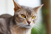 Recumbent abyssinian cat looks at the camera