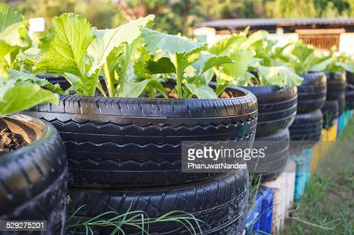 recycle of tire used in organic vegetable farm : Stock Photo
