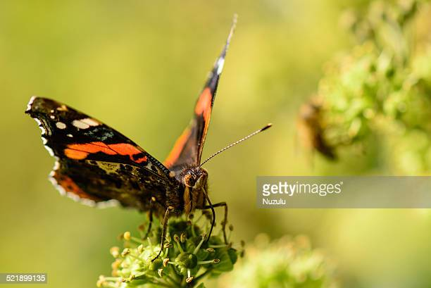 Red Admiral Butterfly with Bee in Background, 2014