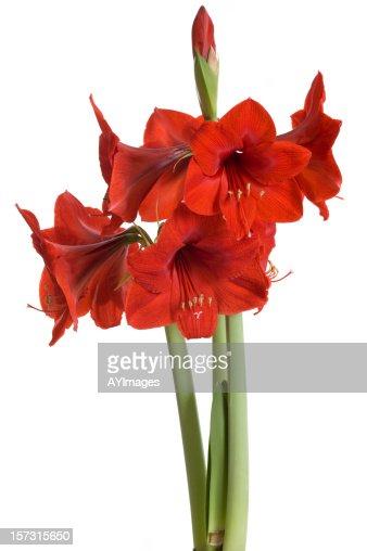 Red amaryllis on white background (Hippeastrum)