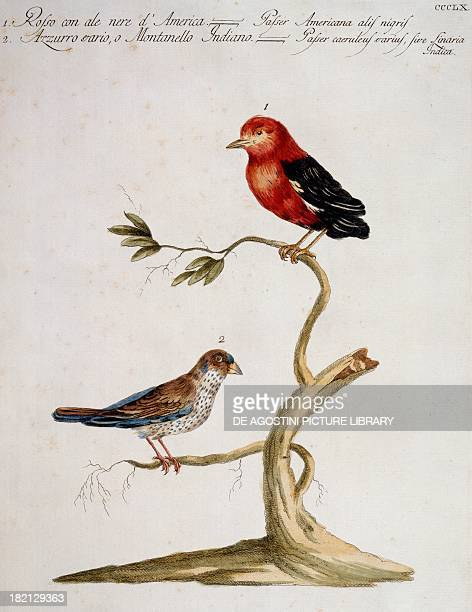 Red American Sparrow with black wings and blue variety sparrow or Indian Montanello colour etching by Lorenzo Lorenzi and Violante Vanni from Natural...