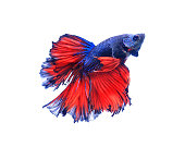 Red and blue half moon butterfly  siamese fighting fish, betta fish isolated on black background.