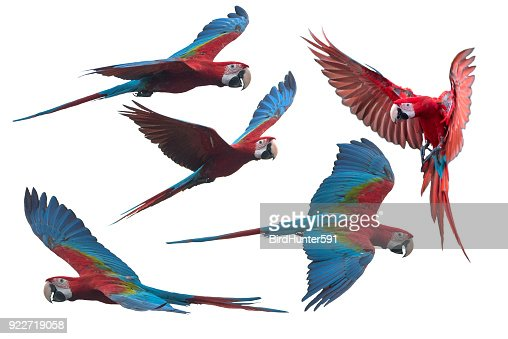 Red and green macaw flying i : Stock Photo