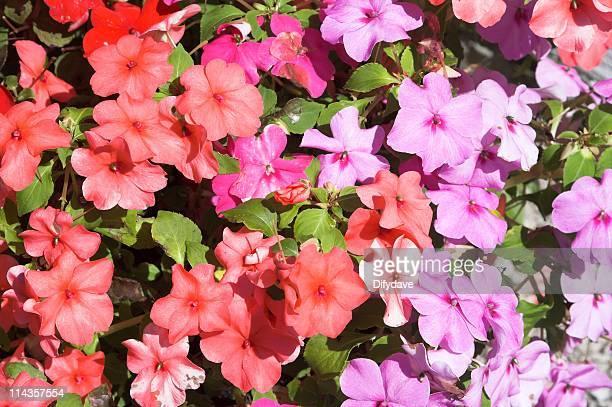 Rouge et de Mauve Bizzy Lizzy fleurs