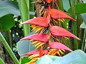 Red And Orange Bird Of Paradise Flower close-up
