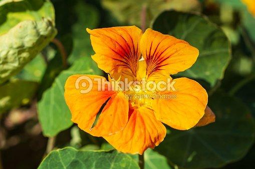red and orange nasturtium flower enjoying the sunrise : Stock Photo