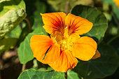 a red and orange nasturtium flower enjoying the sunrise