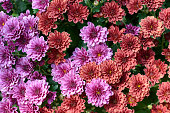 Chrysanthemums or florist's daisies in bright red and purple, top view