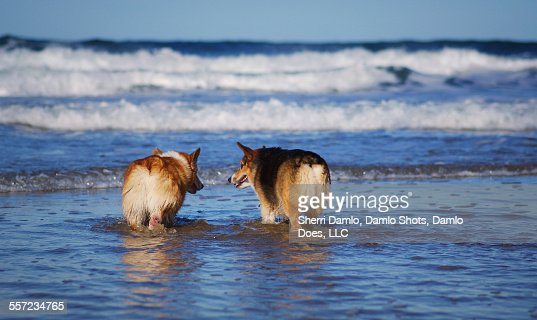 Red- and Tri-Colored Corgis in the Ocean : Stock Photo