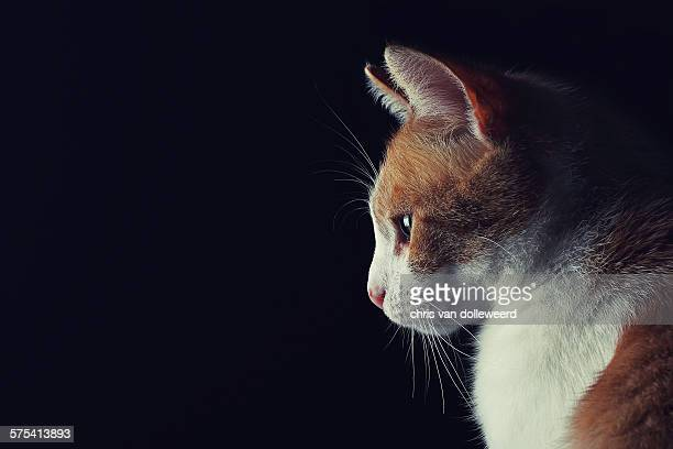 Red and white cat