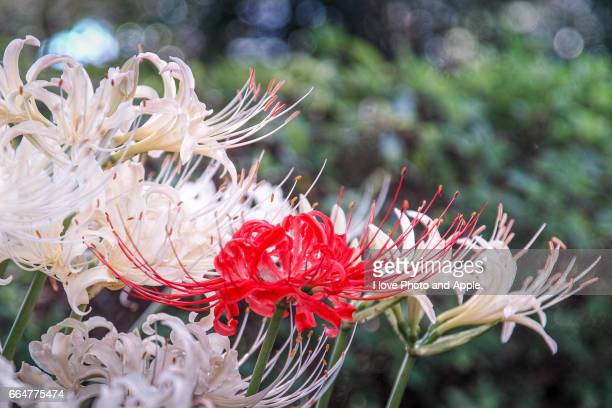 Red and white cluster amaryllis
