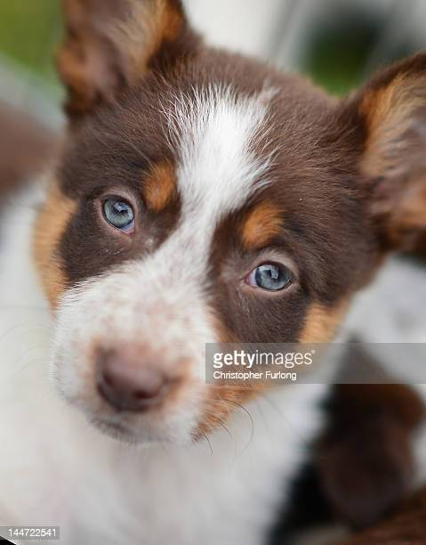 A red and white collie puppy sheepdog waits to be auctioned at Skipton Auction Mart where his owner is hoping to sell him for a minimum of 300 GBP on...