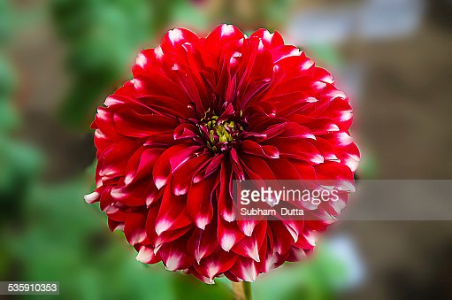 red and white dahlia flower : Stock Photo