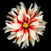 A red and white dahlia isolated on a black background.