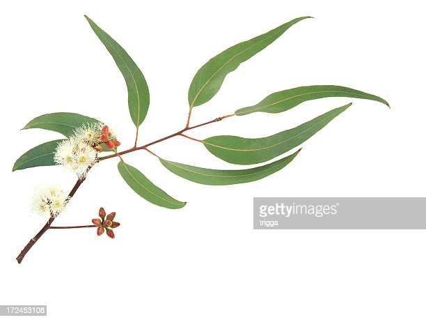 Red and white flowering Eucalyptus branch