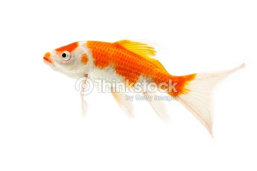 Rojo y blanco peces koi foto de stock thinkstock - Peces koi precio ...