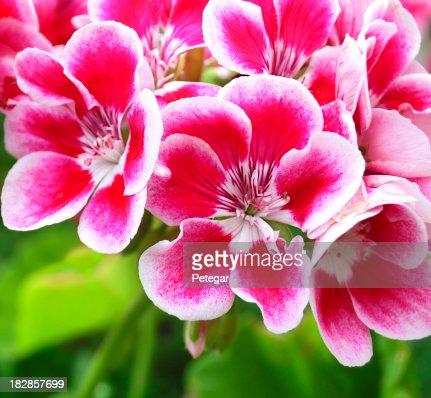 Red and White Pelargonium (Geranium) Flowers