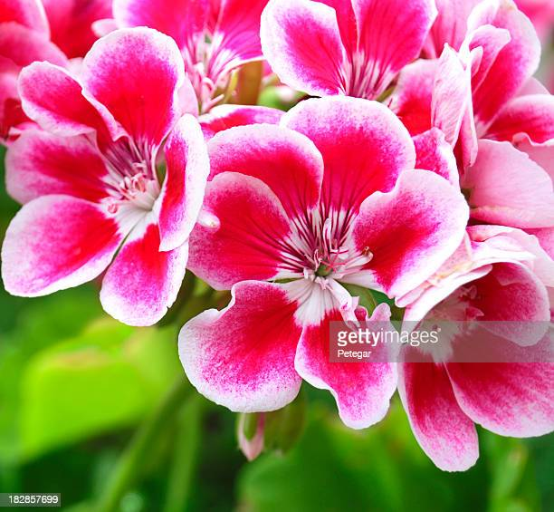 Red and White Pelargonium (Geranium) Flowers