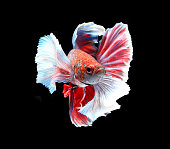 Red and white siamese fighting fish, betta fish isolated on black background.