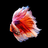"Red and white siamese fighting fish ""Half moon"" shape isolated on black background"