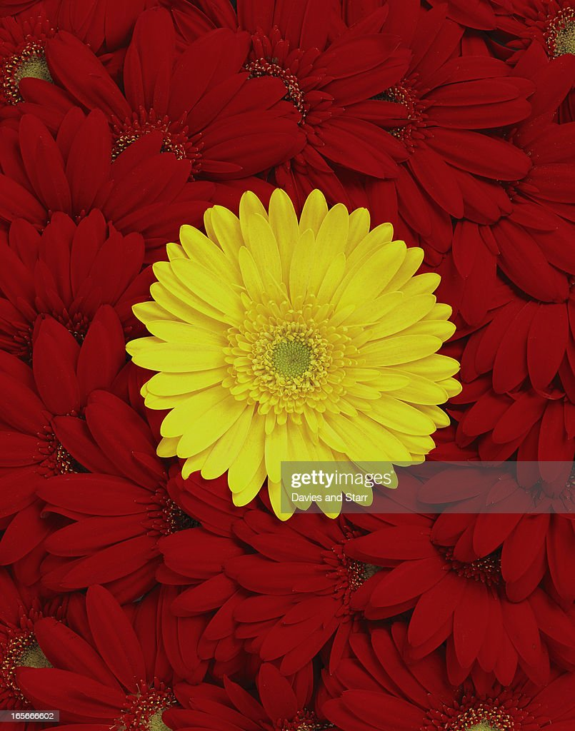 Red and Yellow Daisies : Stock Photo
